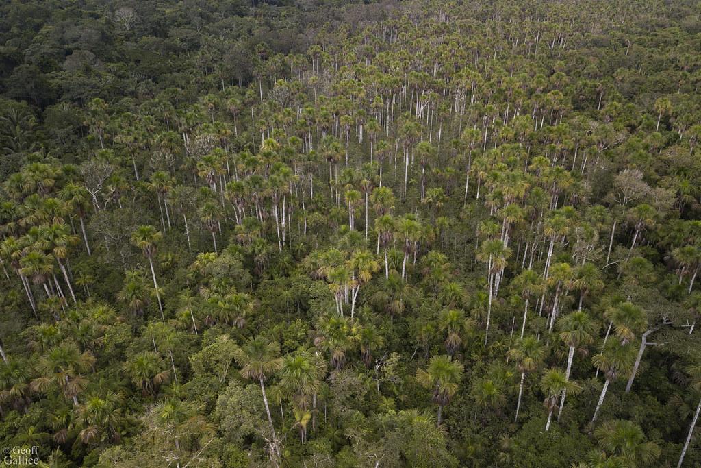 Mauritia palm swamp