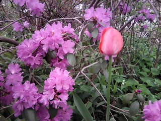 Rhododendron & tulip