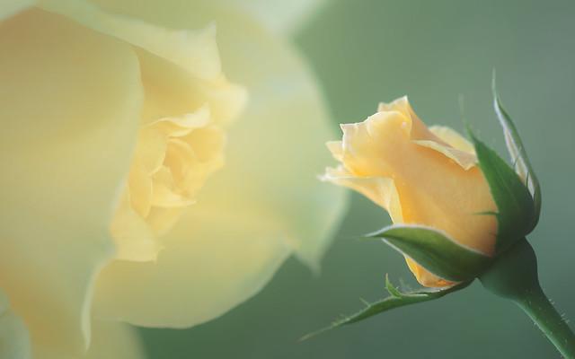 Tomorrow's Rose