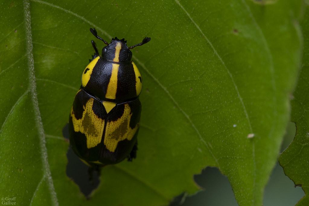 Leaf chafer (Rutela histrio)