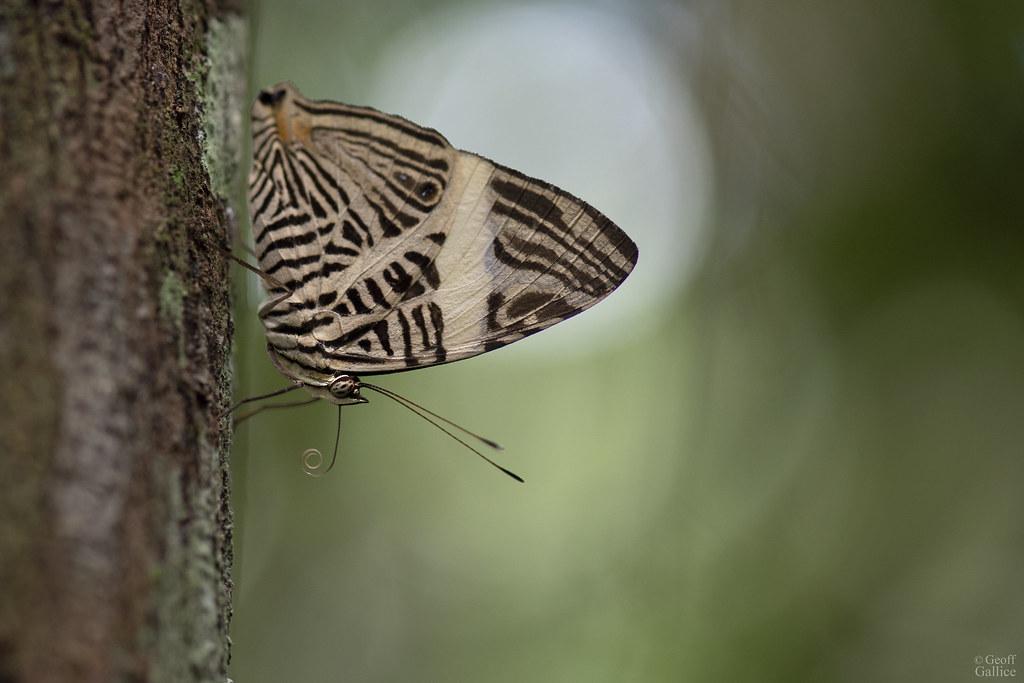 Mosaic butterfly (Colobura dirce)