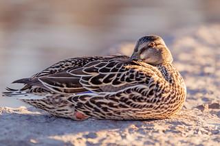 Mallard Duck, Mimico Waterfront Park, Toronto