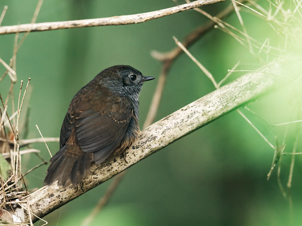Mouse-colored Tapaculo