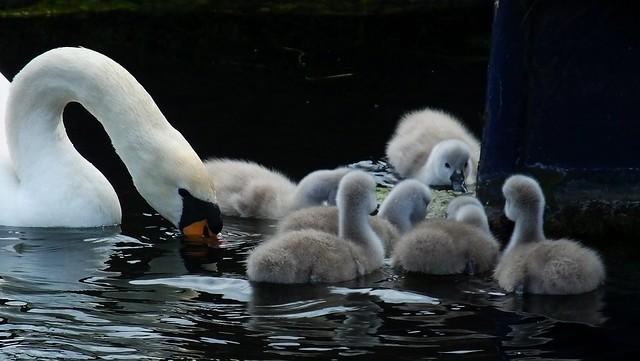 Swan Family 09