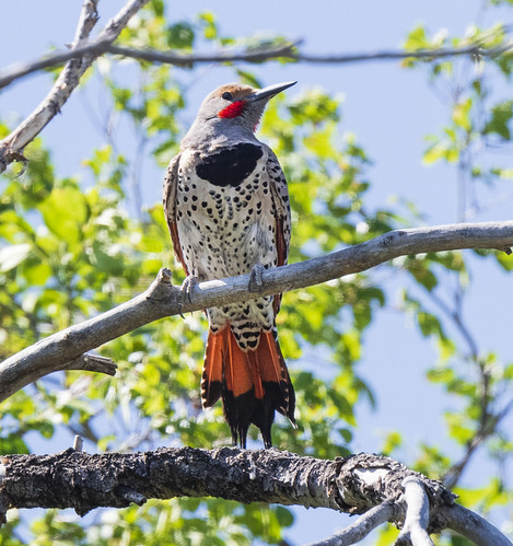 northern_flicker_on_branch-20200505-100