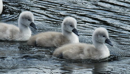 Swan Family 017