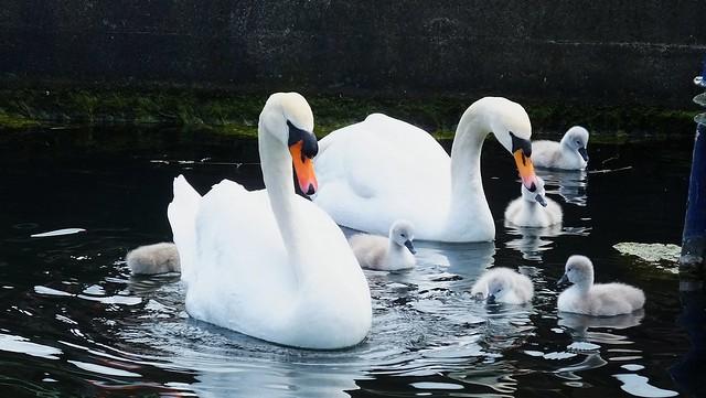 Swan Family 08