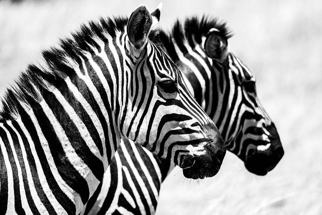 Zebras of Masai Mara National Reserve