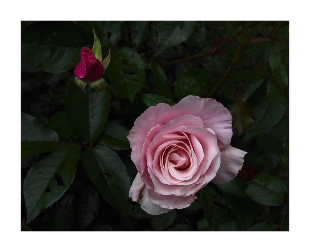 Our Lady Of Guadalupe Floribunda Rose