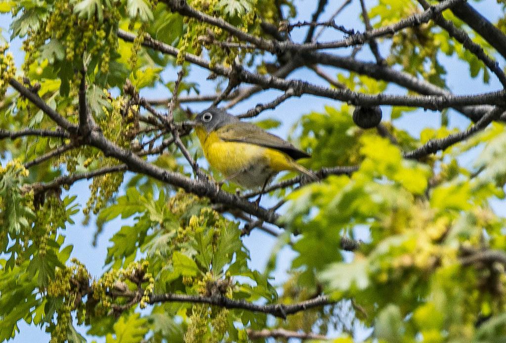 Nashville warbler (1 of 1)