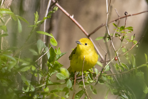 shongumlake newjersey morriscounty unitedstates birds nature environment beautiful sun warbler yellowwarbler green yellow migratory coth5