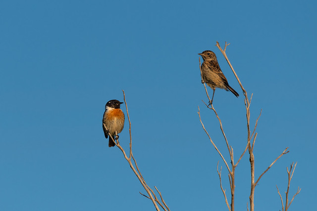 Male (left) & Female (right) European Stonechats
