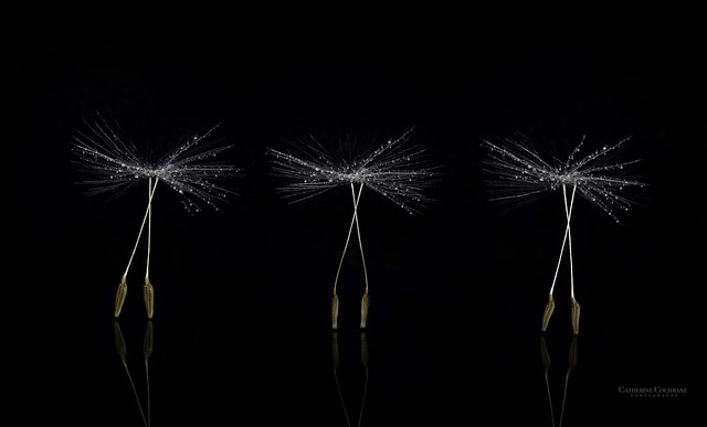 Dance of the Dandelion Seeds