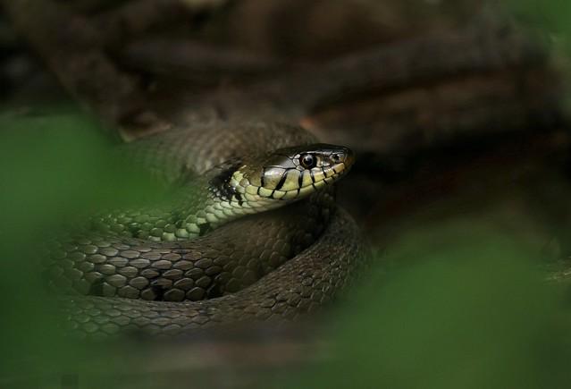 Grass Snake.