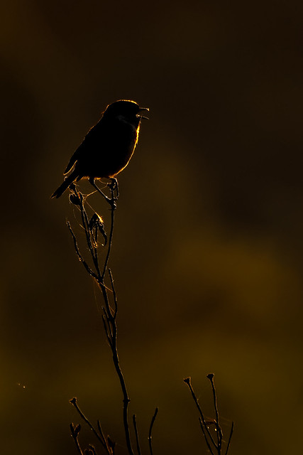 Male European Stonechat