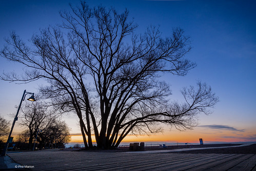 Large tree on Woodbine beach boardwalk | by Phil Marion (184 million views - THANKS)