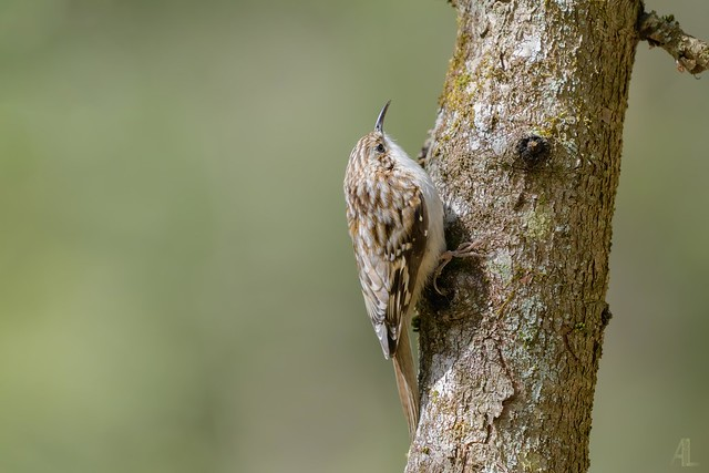 Grimpereau brun // Brown Creeper - 1/3