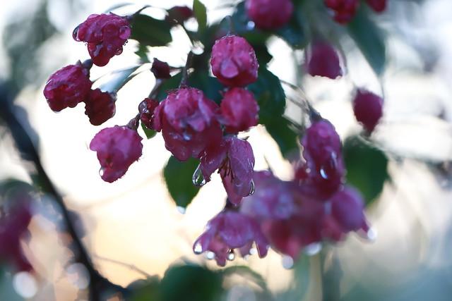 Wet blossoms