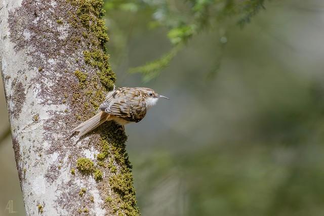Grimpereau brun // Brown Creeper - 3/3