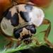 Face of ladybug with black eyes in macro