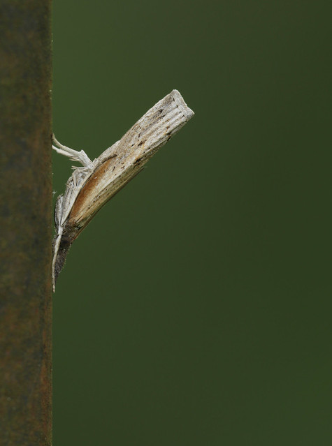 Moth on a pole