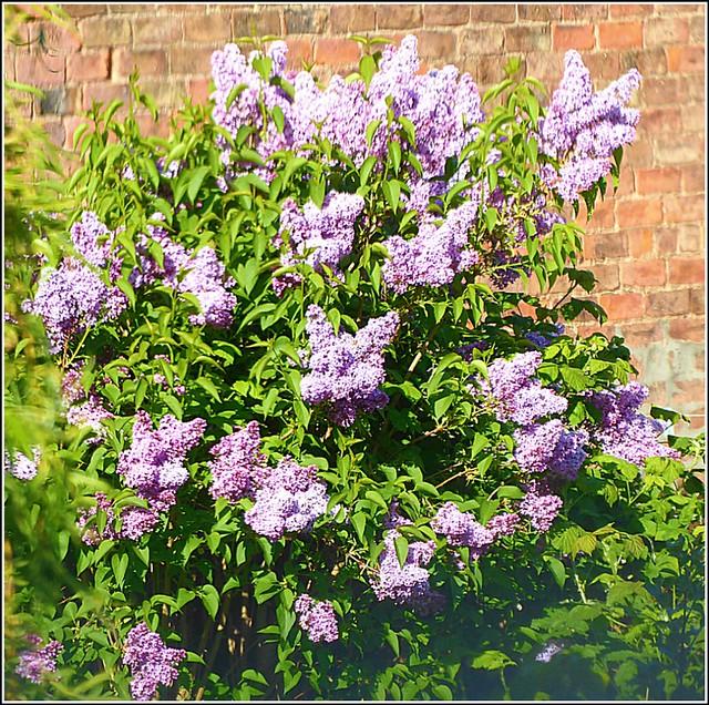 Lilac Bush ...( Syringa )