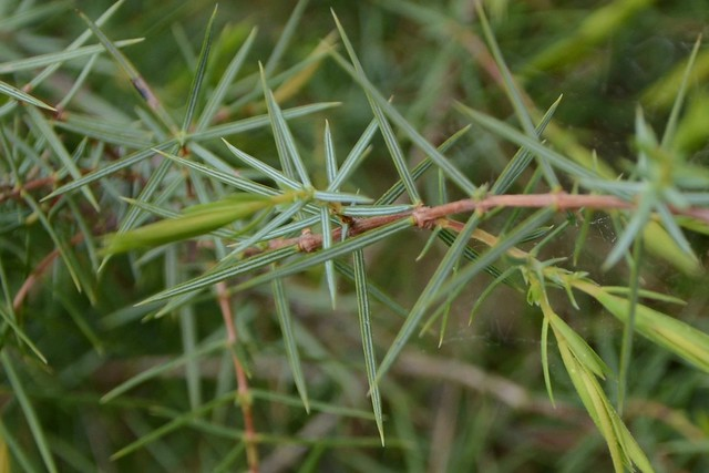 Juniperus oxycedrus - cade 49862954737_8c420641f7_z