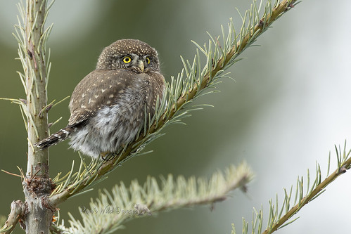 Itty Bitty Owl
