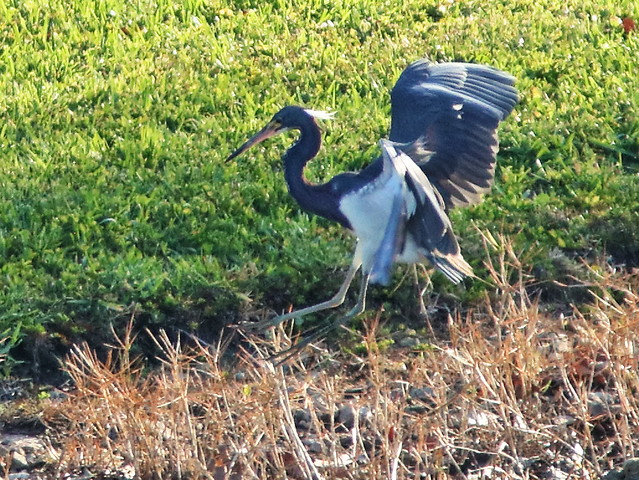 Tricolored Heron 04-20200506