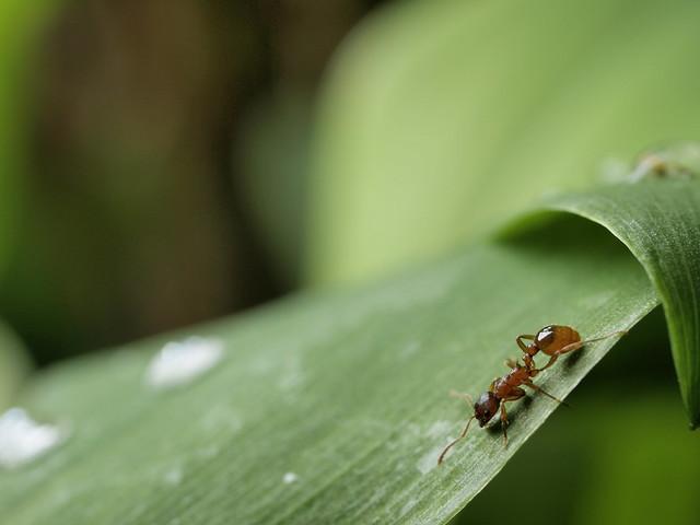 FlickrFriday - #insekt - Ameise