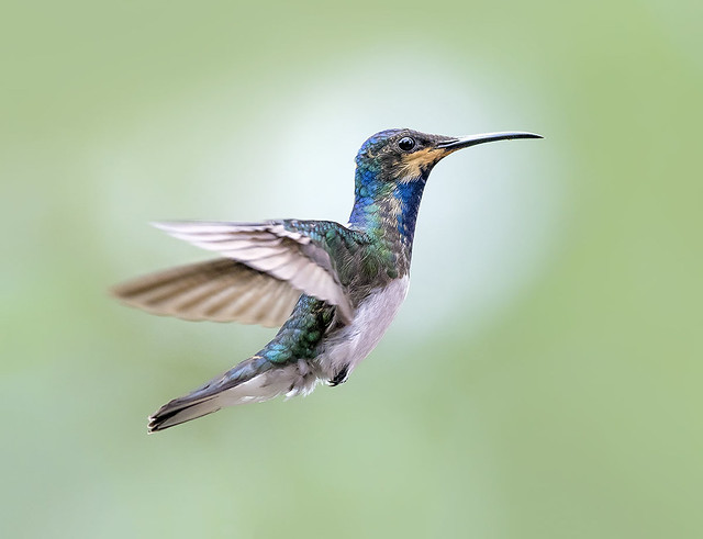 White Necked Jacobin Hummingbird in flight dancing in the air, Trinidad.