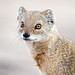 portrait of yellow mongoose