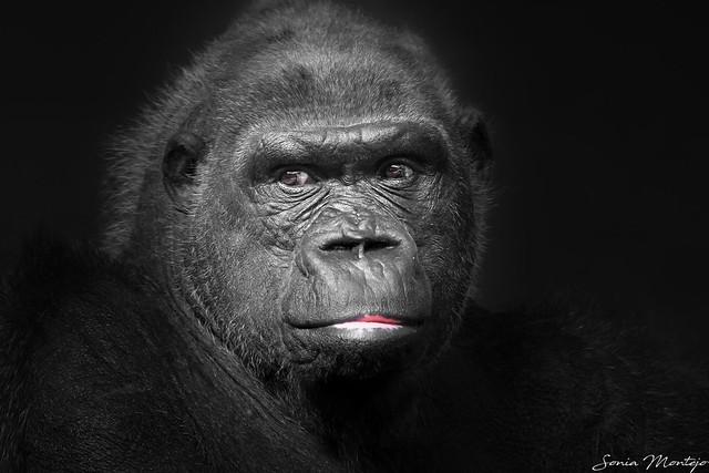 Gorila (explore)