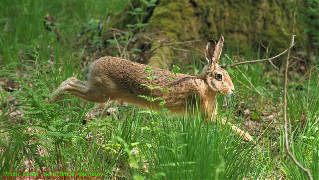 Hare in a Forest in Klein-Auheim (Hanau), Germany - May 05, 2020