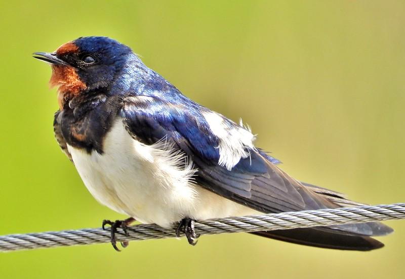 Rauchschwalbe*house swallow [Hirundo rustica]