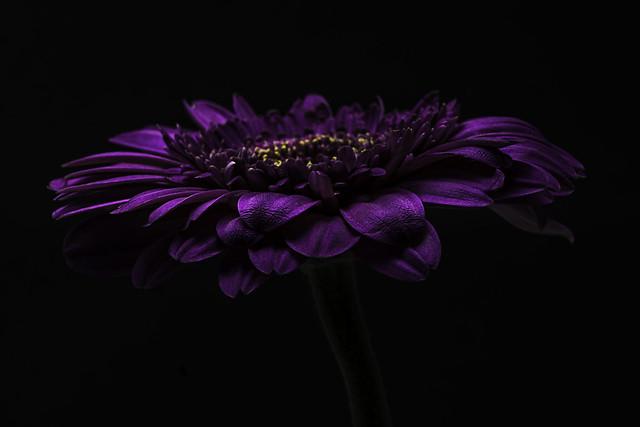 Purple Flower Side View on Black 01