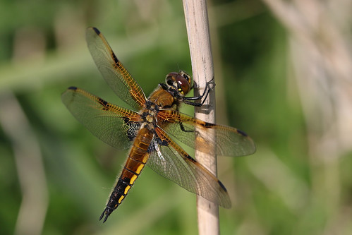 Four-spotted Chaser  ~ Libellula quadrimaculata {explored}