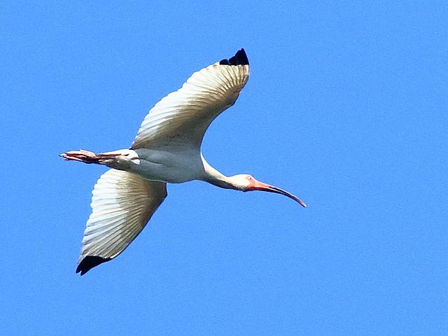 White Ibis 02-20200506