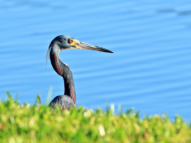 Tricolored Heron 03-20200506