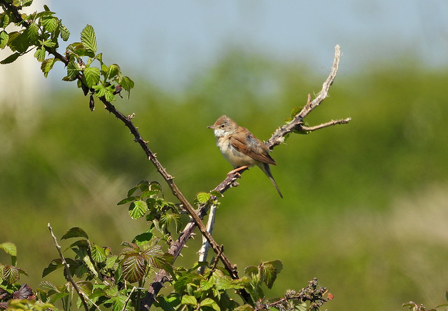 Whitethroat, LSC field, May 6 2020, P1 (68)