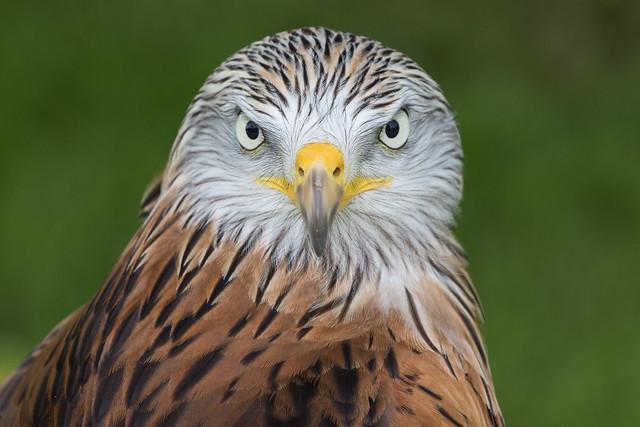 Red Kite (Milvus milvus) 2725