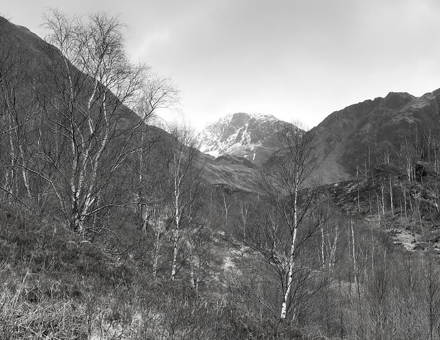 Birches in Glen Nevis, near Fort William, Lochaber, Highland, Scotland, UK
