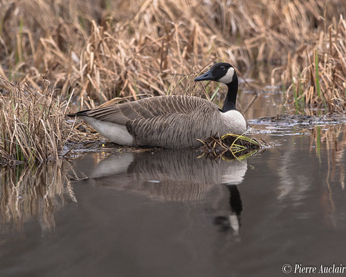 Bernache du Canada, Branta canadensis, Canada Goose-1618.jpg