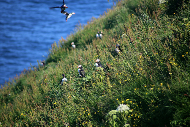 Puffins on Kalsoy