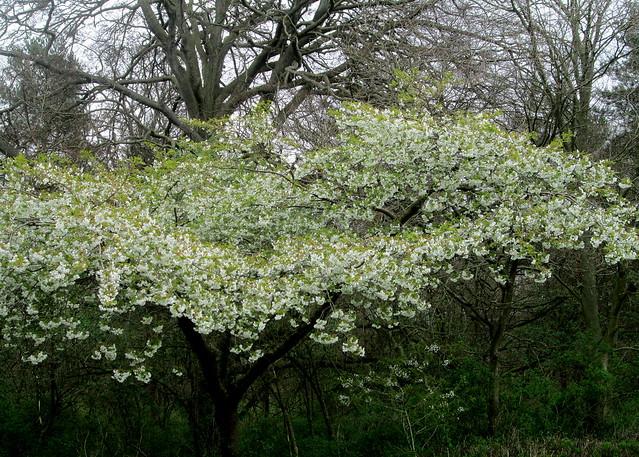 Cherry Blossom, Fife, tree