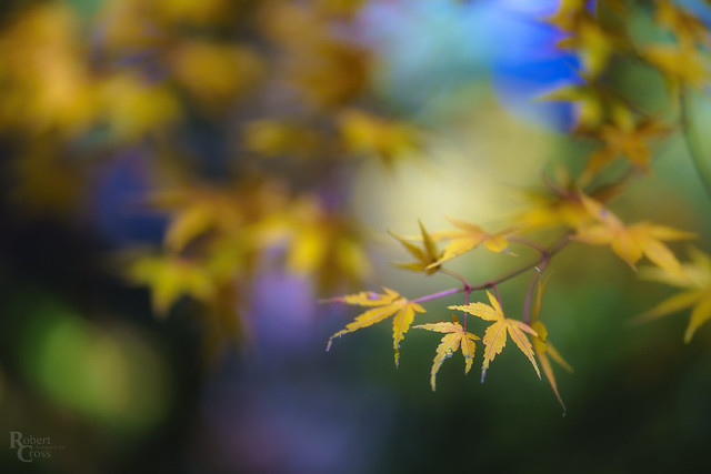 Japanese Maple Color and Light