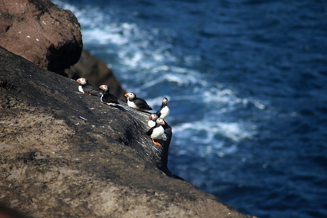 Puffins at Trøllanes, Kalsoy