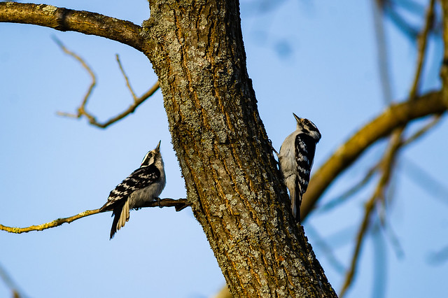 Downy Woodpeckers - Mating Ritual