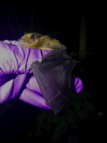 Personal Essay: Bats are in the midst of a pandemic too