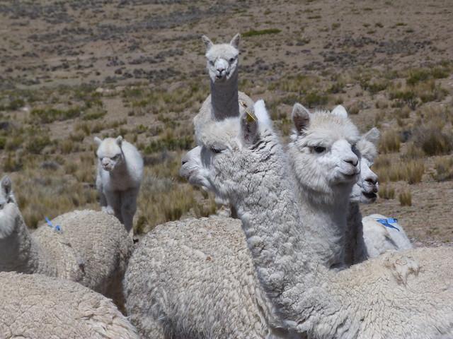 Alpacas en Perú
